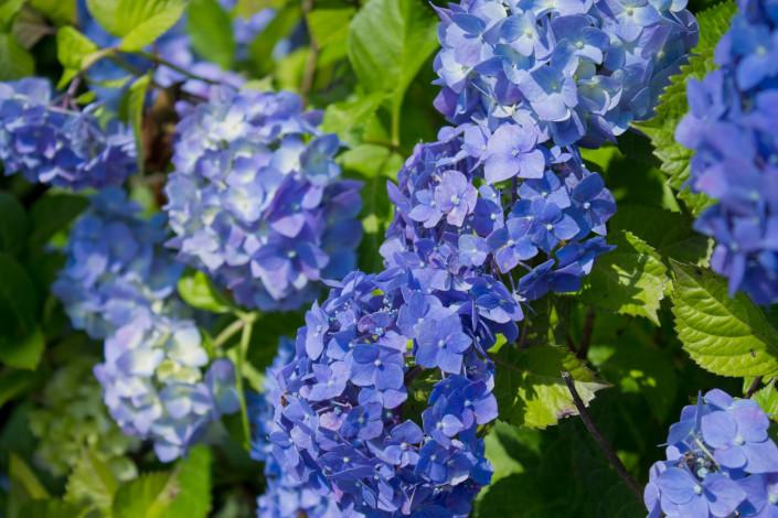 紫陽花(ホンアジサイ)