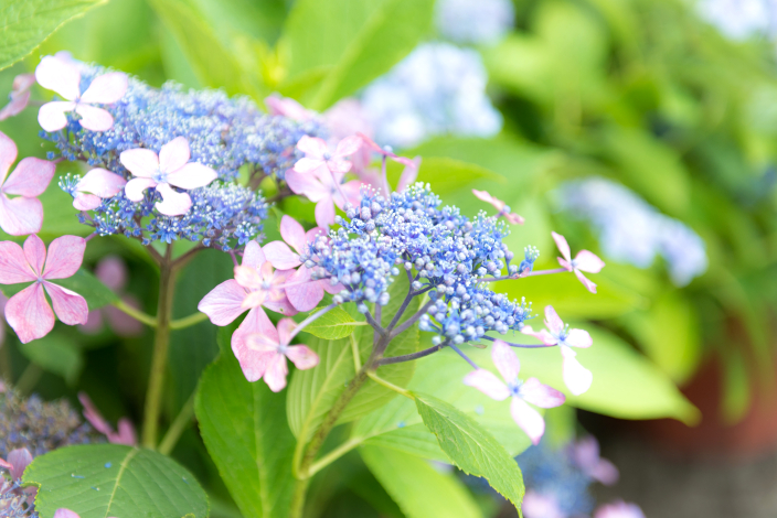紫陽花(ガクアジサイ)